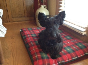 Biscotti, the Scottish Terrier
